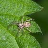Buzzing spider, female, Anyphaena accentuata 3792