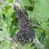 Small Tortoiseshell larvae, Aglais urticae 9398