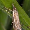 Hook-streak Grass-veneer, Crambus lathoniellus 3571