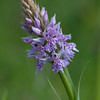 Common Spotted-orchid, Dactylorhiza fuchsii 3627