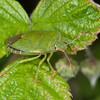 Green Shieldbug, Palomena prasina 3730