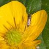 Cocksfoot Moth, Glyphipterix simpliciella 3783