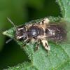 Yellow-legged Mining Bee, Andrena flavipes 3795