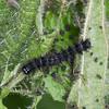 Small Tortoiseshell larvae, Aglais urticae 3596