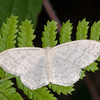 Cream Wave, Scopula floslactata 3770
