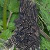 Small Tortoiseshell larvae, Aglais urticae 3591