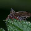 Horned Treehopper, Centrotus cornutus 3810