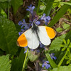 Orange-tip, Anthocharis cardamines 3700