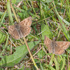 Dingy Skippers, Erynnis tages 3684