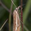 Hook-streak Grass-veneer, Crambus lathoniellus 3573