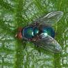 Blue Bottle Fly, Calliphora vomitoria 3812