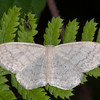 Cream Wave, Scopula floslactata 3771