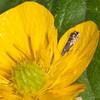 Cocksfoot Moth, Glyphipterix simpliciella 3784