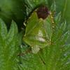 Green Shieldbug, Palomena prasina 3744