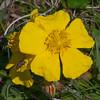 Rock-rose, Helianthemum chamaecistus 3683