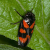 Red-and-black Froghopper, Cercopis vulnerata 3796