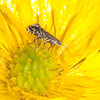 Cocksfoot Moth, Glyphipterix simpliciella 3782