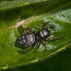 Jumping spider, Heliophanus flavipes 4037