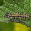 Small Tortoiseshell, 4th instar larva, Aglais urticae 3992