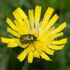 Leaf beetle, Cryptocephalus species 3930