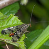 Scorpion fly, Panorpa species 3873