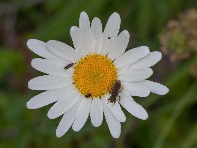 Cocksfoot Moth, Glyphipterix simpliciella on Oxeye Daisy, Chrysanthemum leucanthemum 4010