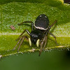 Jumping spider, Heliophanus flavipes 4025