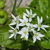 Ramsons Wild Garlic, Allium ursinum 3896