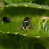 Jumping spider, Heliophanus flavipes 4030