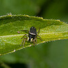 Jumping spider, Heliophanus flavipes 4026