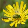 Leaf beetle, Cryptocephalus species 3956