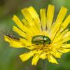 Leaf beetle, Cryptocephalus species 3959