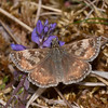 Dingy Skipper, Erynnis tages 3918