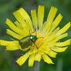 Leaf beetle, Cryptocephalus species 3934