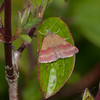 Small Purple-barred, Phytometra viridaria 3917