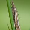 Hook-streak Grass-veneer, Crambus lathoniellus 3964