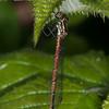 Large Red Damselfly, female, Pyrrhosoma nymphula 4113