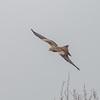 Red Kite, Milvus milvus 9804