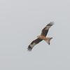 Red Kite, Milvus milvus 9803
