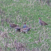 Grey Partridge, Perdix perdix 9831