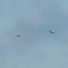 Buzzard, Buteo buteo and Red Kite, Milvus milvus 9454
