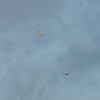 Buzzard, Buteo buteo and Red Kite, Milvus milvus 9453