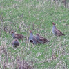 Grey Partridge, Perdix perdix 9829