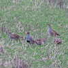 Grey Partridge, Perdix perdix 9830