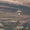 Short-eared Owl, Asio flammeus 9699