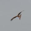 Red Kite, Milvus milvus 9792