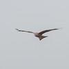 Red Kite, Milvus milvus 9806