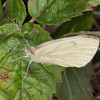 Green-veined White, Pieris napi 1274