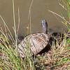 False Map Turtle, Graptemys pseudogeographica pseudogeographica and Turtle, Graptemys species 1260