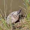 False Map Turtle, Graptemys pseudogeographica pseudogeographica and Turtle, Graptemys species 1258